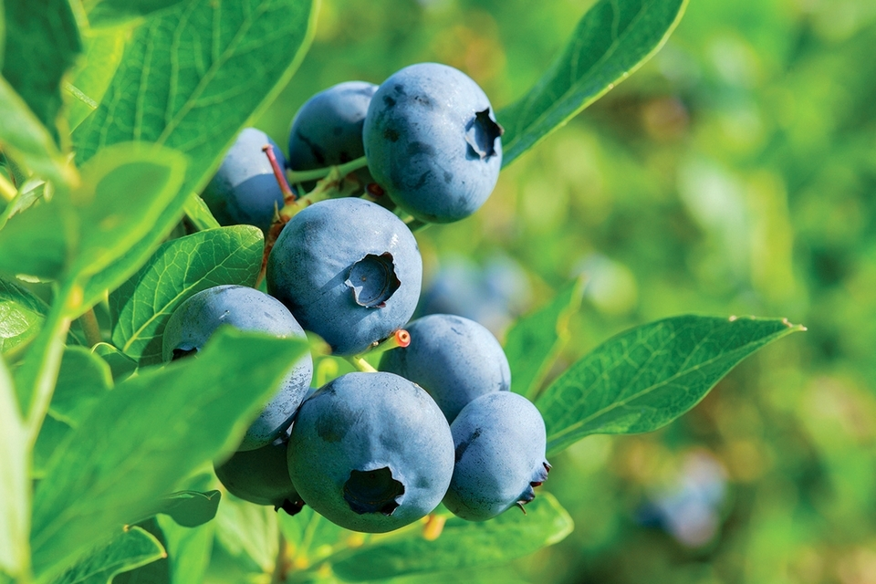 Varieties of berries will be featured in the Pequot Museum's new ethnobotany garden.