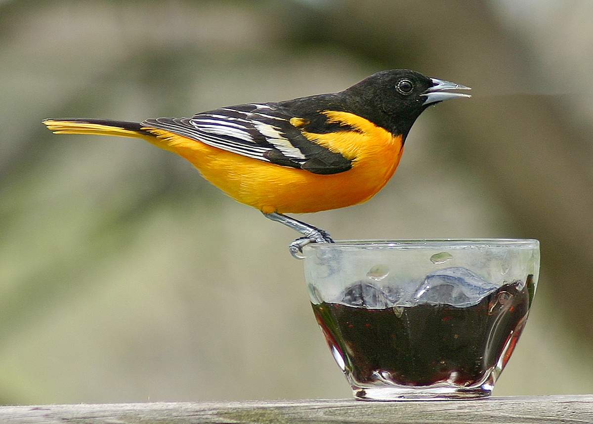 <b></b> Look for the Baltimore Oriole starting in May.
