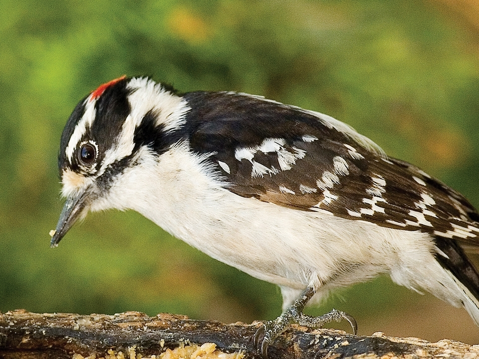 The male Downy Woodpecker is identified by the bright red patch on the back of his head.