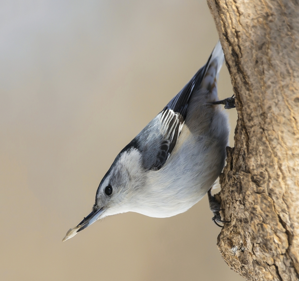 Nuthatches love to hang out in trees.