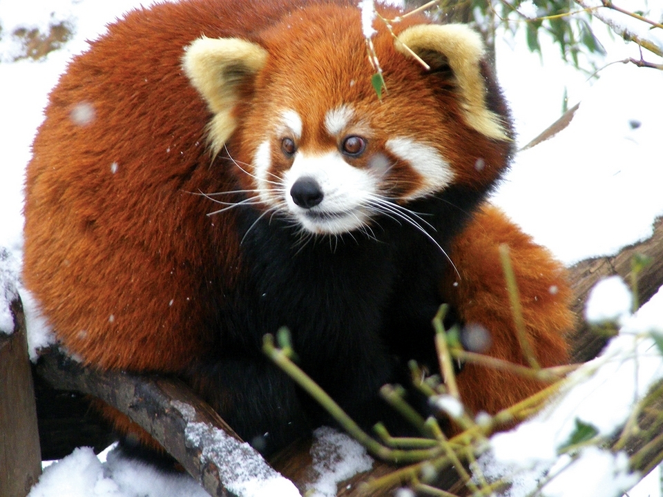 Where can you see a red panda in the snow? Roger Williams Park Zoo, of course!