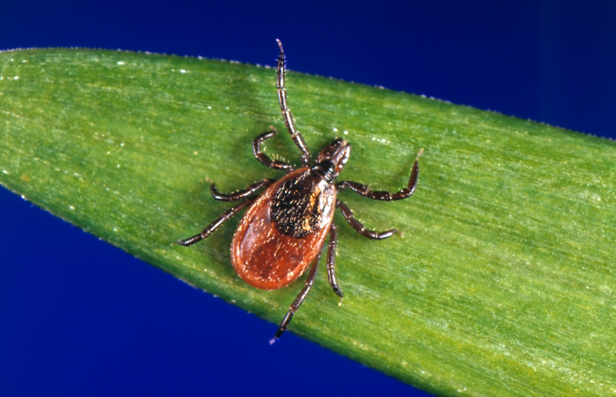 <b></b> This undated photo provided by the U.S. Centers for Disease Control and Prevention (CDC) shows a blacklegged tick, also known as a deer tick. Ledge Light Health District has created a new regional task force to explore why Lyme disease rates in New London County are much higher than in other parts of the state and to come up with ways to help reduce cases going forward. (CDC via AP)