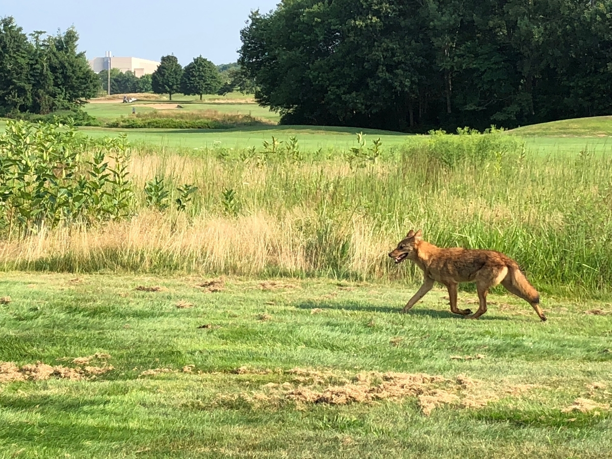 <b></b> A coyote runs across a green at  Shennecossett Golf Course this week. Coyotes have taken to lying in sand pits, digging holes and standing near golfers this summer, and have not been deterred by the course employees efforts to discourage them. (Photo courtesy Eric Morrison)