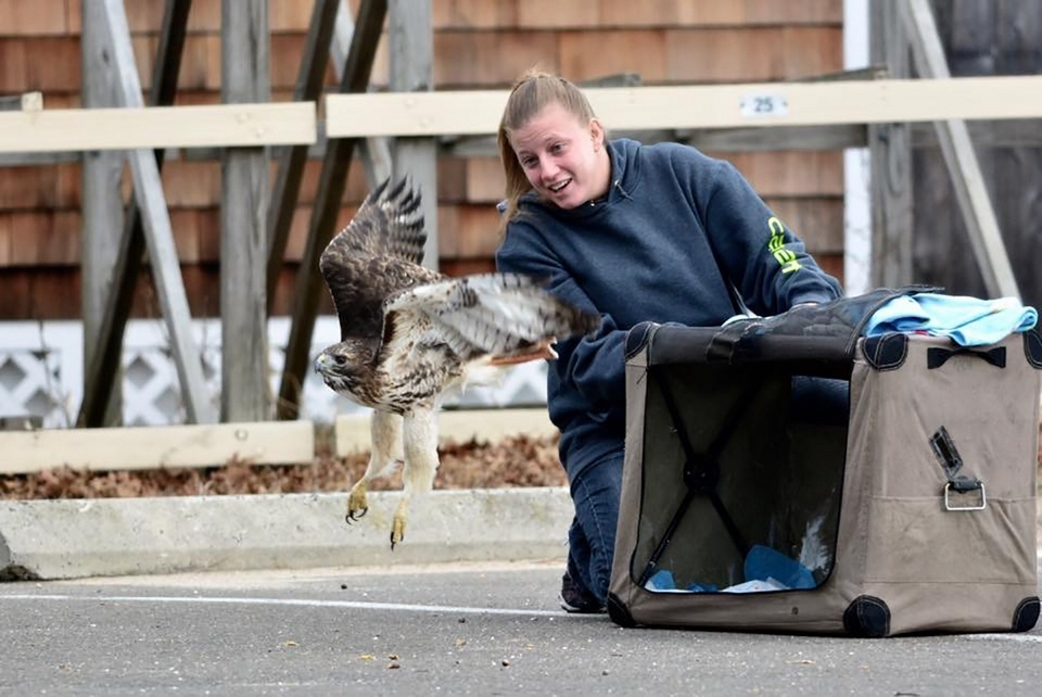 Wildlife Rehabilitator Amanda Morgillo releases a red-tailed hawk back into the wild. (Photo by Todd McLeish)
