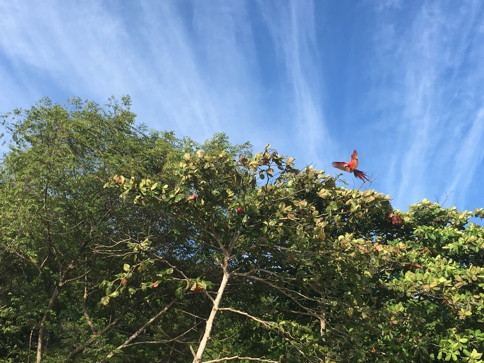 Macaws in the almond trees